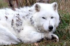 dog breed, animal, canis lupus tundrarum, dog, gray wolf, pet, berger blanc suisse, greenland dog, kishu, carnivoran,