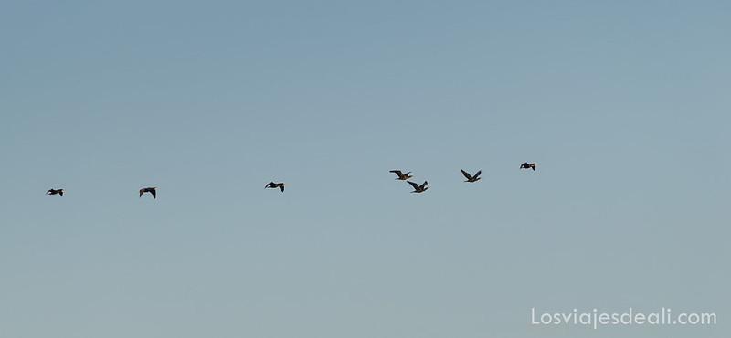 aves migratorias en la laguna de Sariñena