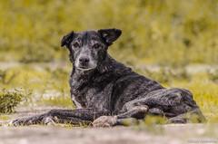 labrador retriever(0.0), puppy(0.0), irish wolfhound(0.0), patterdale terrier(0.0), animal(1.0), dog(1.0), pet(1.0), street dog(1.0), mammal(1.0), lurcher(1.0),