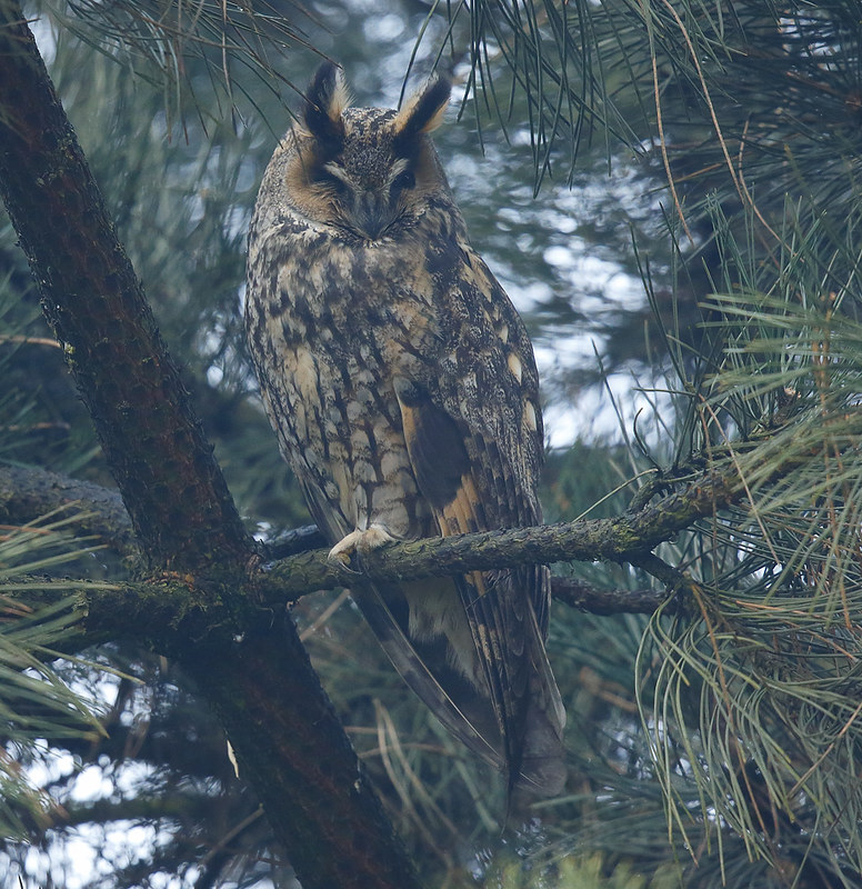 Long-eared Owl - through mist.