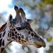 Giraffe, San Diego Zoo
