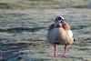 Quizzical Goose