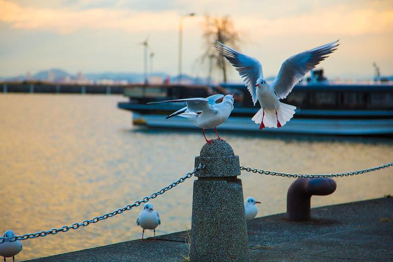 琵琶湖のかもめ