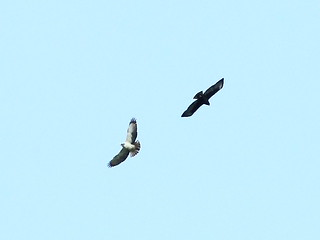 Pair of Short-tailed Hawks Brasso Seco 27dec2014