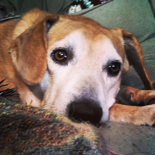 Happy 8th Birthday Sophie!! #dogstagram #instadog #rescued #houndmix #adoptdontshop #ilovemydogs