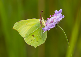 Brimstone - Butterfly