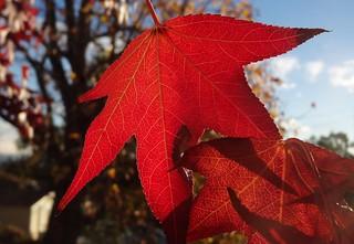 Sweet gum red leaf, sooc