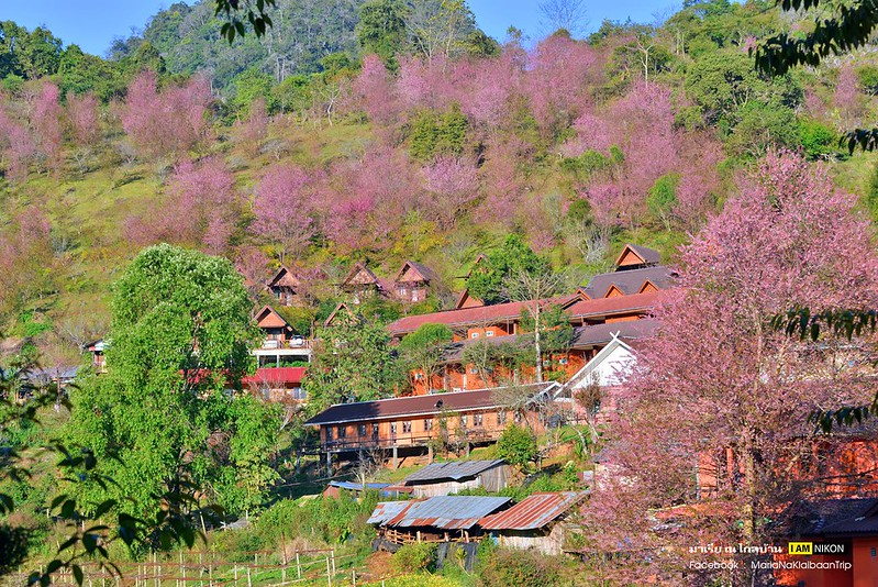 Chiang mai Khunwang Doi Inthanon sakura trees village