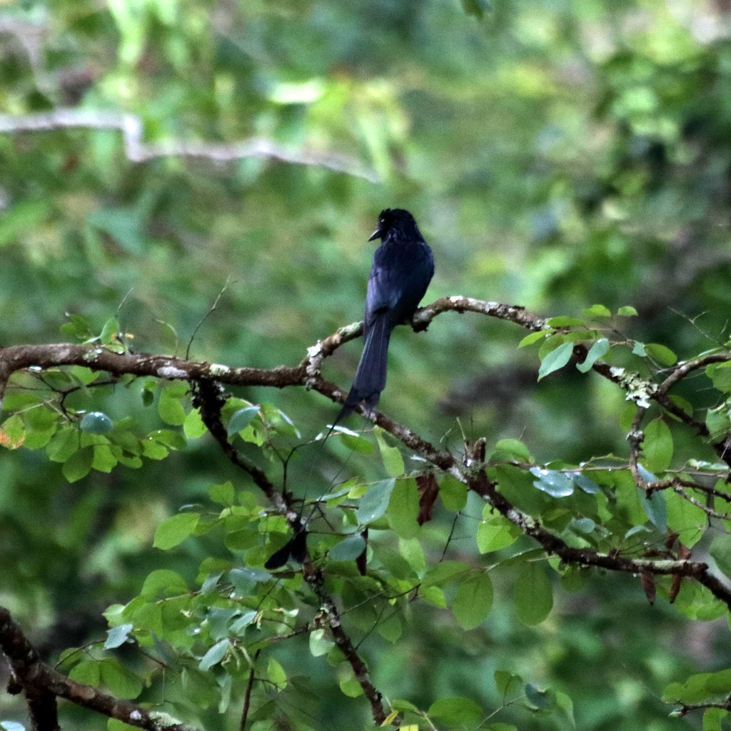 Racquet-tailed Drongo