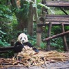 Does a panda eat bamboo for breakfast in the woods? #chengdu #panda