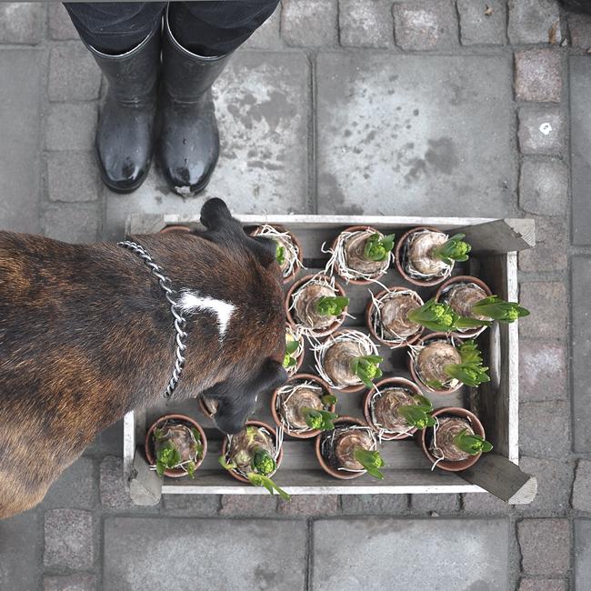 luktar på hyacinterna