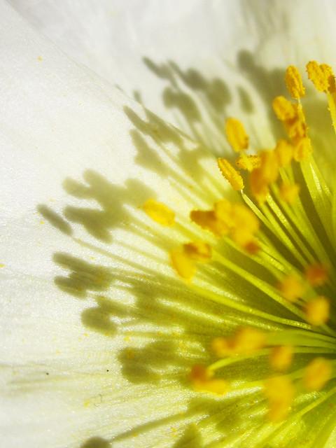 Yellow Stamen in a White Flower