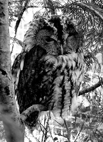 Owl staring one eyed.