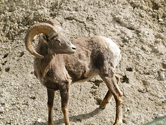 animal, sheep, argali, mammal, horn, barbary sheep, fauna, bighorn, wildlife,