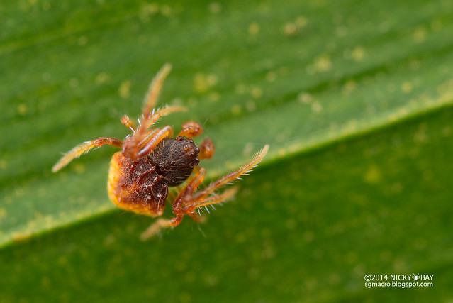 Araneid spider (Cyrtarachne sp.) - DSC_8265