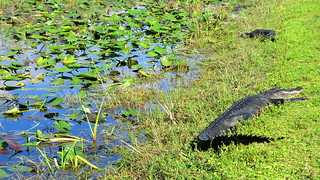 KennedySpace Center: Alligator