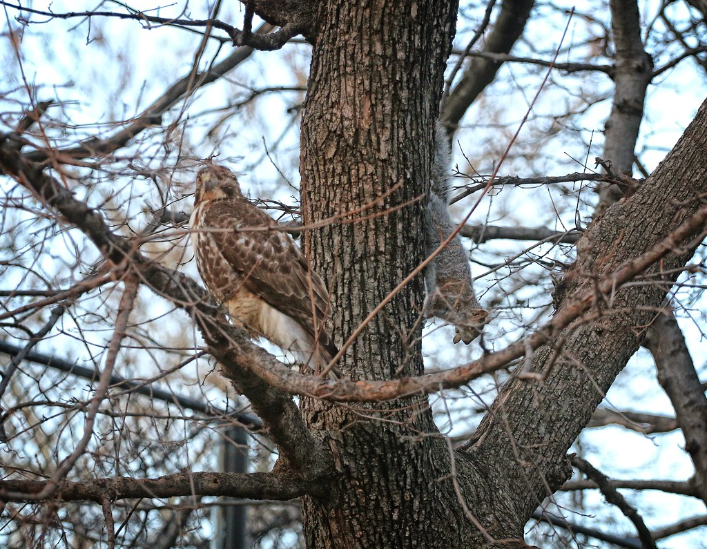 Juvenile red tail with a squirrel in Tompkins Square