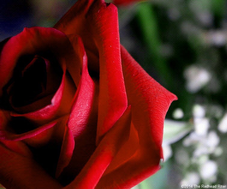 red rose thorns thankful grateful 2