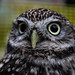 Little Owl - Big Personality