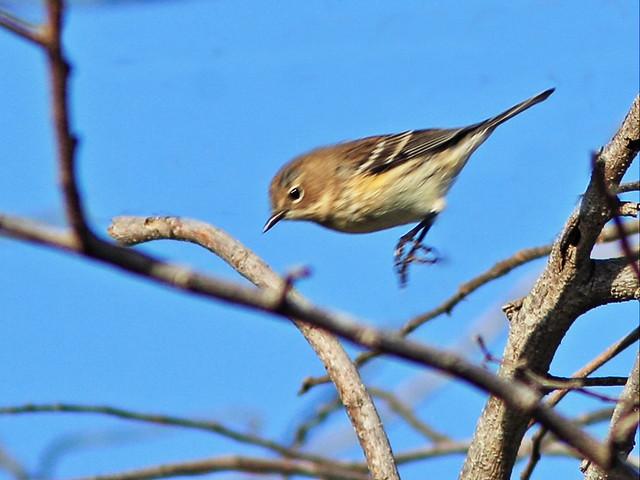 Yellow-rumped Warbler 6-20141130