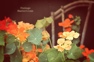 Vintage Nasturtiums On Willow Chair