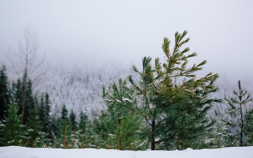 trees winter snow cold nature fog clouds depthoffield pacificnorthwest washingtonstate canonef2470mmf28lusm canoneos5dmarkiii dualiso