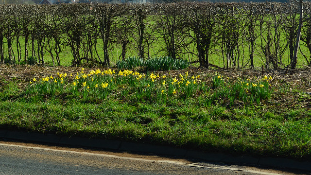 20140309-08_Road-side Daffs + Hedge_Cawston B4642 Coventry Road (old A4071)