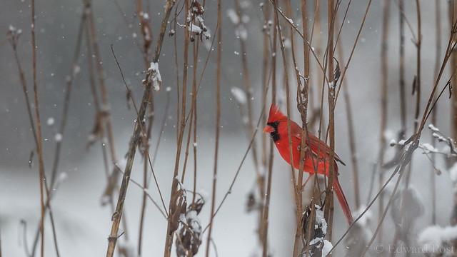 Ed Post - Northern Cardinal (Cardinalis cardinalis)