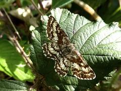 Phalène picotée - Common Heath
