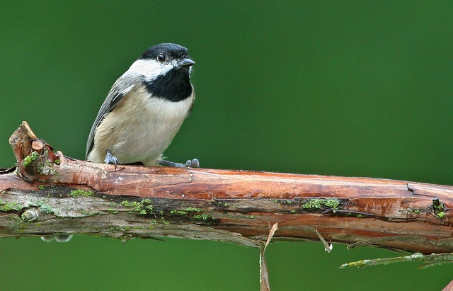 Carolina Chickadee 20d_2483