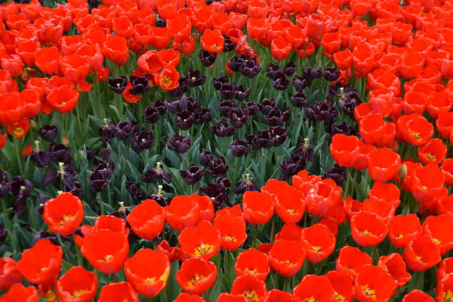 Red and purple tulips blooming in Washington Park during the Albany Tulip Festival in the capital city of Albany, New York, USA