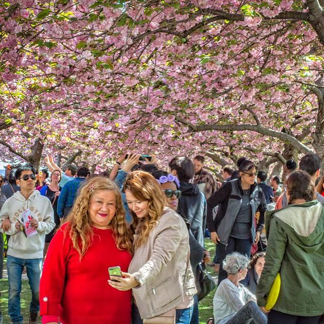 Sekura Matsuri Cherry Blossom Festival Brooklyn NY