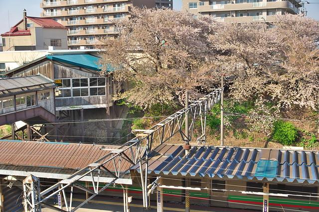 20160508南小樽駅の桜_02