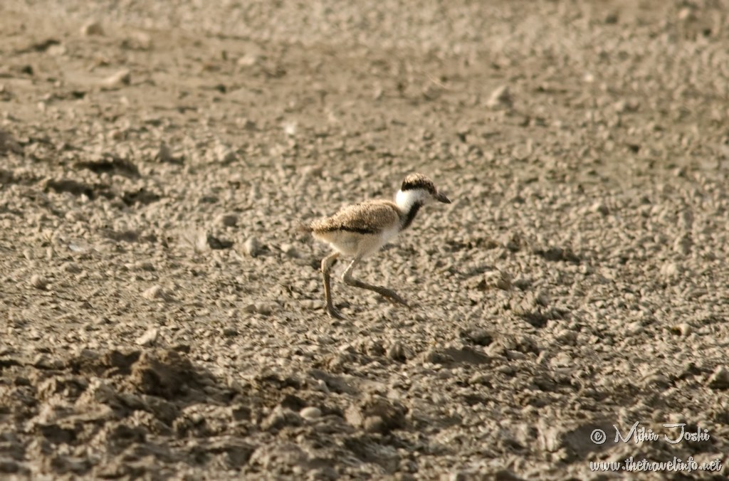 Red-wattled Lapwing Chick [Avefría India]