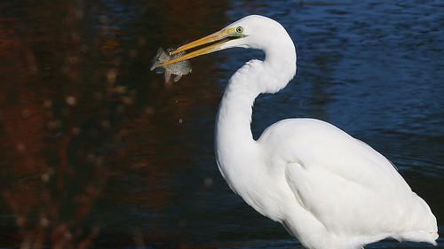 White Heron - (Kotuku)