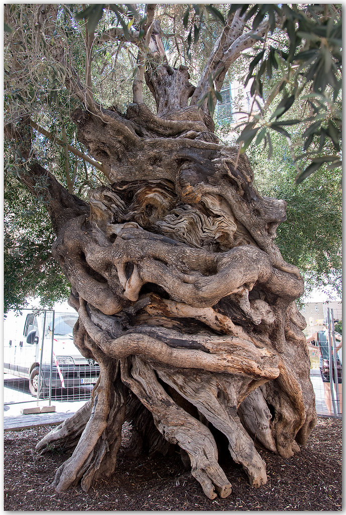 Mehr als 1000 Jahre alter Olivenbaum in Palma de Mallorca
