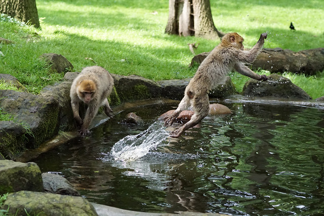 Two monkeys playing at the waterhole on a hot summer day (1)