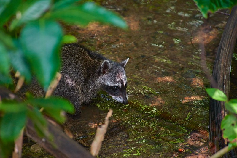Raccoon - Manuel Antonio National Park