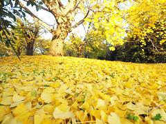 Autumn leaves in Sobue town. 紅葉(黄葉) 愛知県祖父江町