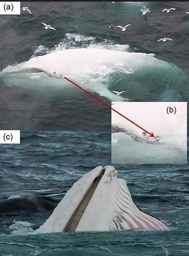 白變個體的白色大翅鯨,圖片來源:Polar Research。