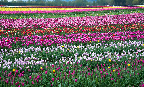 travel pink red summer plant canada flower color green nature floral beauty field yellow rural season landscape spring bed flora tulips outdoor head britishcolumbia farm vibrant background group grow violet objects nobody scene tourist petal growth tulip agriculture multi freshness tulipfestival agassiz