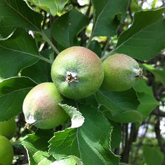 Apples! Starting to blush ...