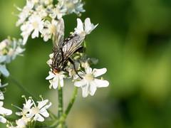Fliege auf Pimpinella saxifraga \ Kleine Bibernelle - 20140724 / Voelkersbach / Germany