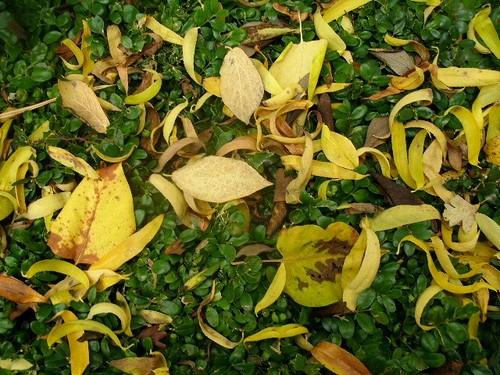 Herbstlaub und Buchsbaum