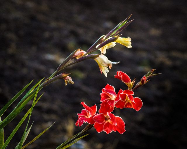 Gladiolus, Flowers, Red, Blooming