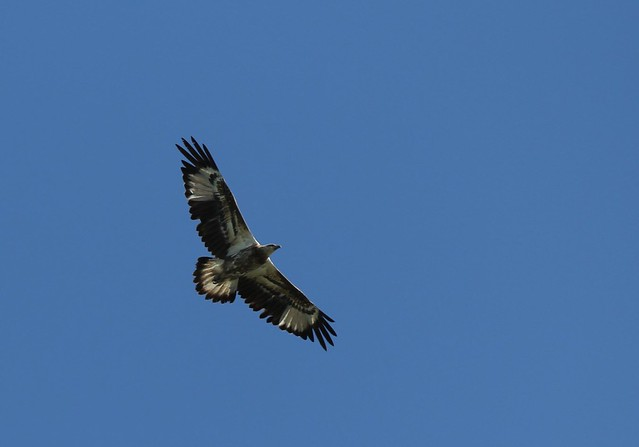 Juvenile White-Bellied Sea Eagle (Haliaeetus leucogaster)