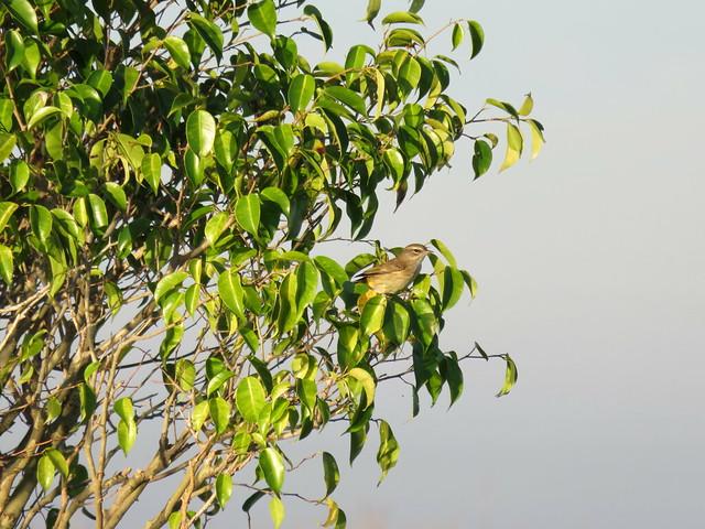 Palm Warbler Canon Powershot 30X 20141218