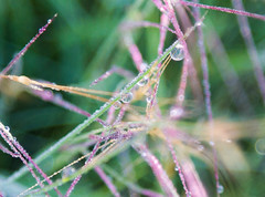Dewdrops on long grass, Canyon Wren Ranch