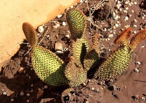 Opuntia rufida (Blind Prickly-pear) - cultivated