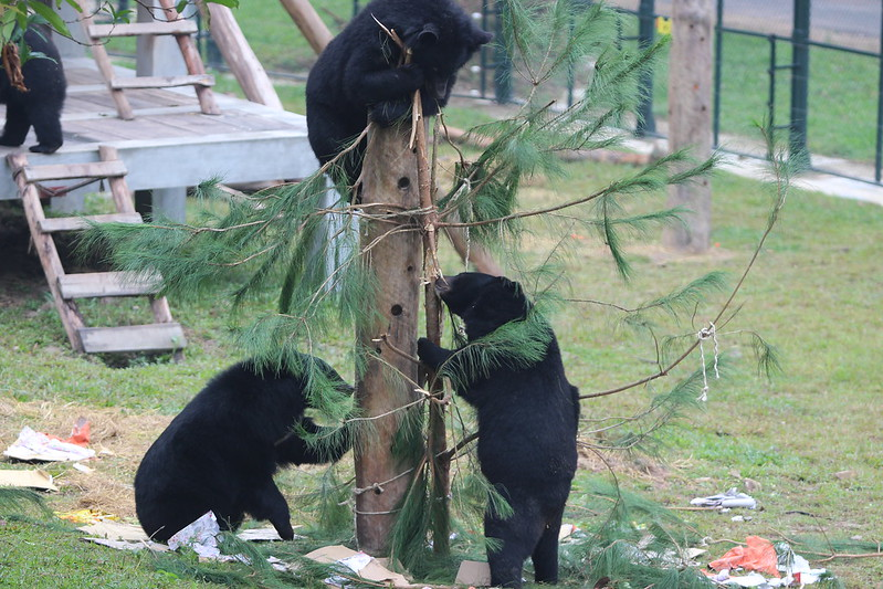 Bears quickly dismantling the Christmas trees 2